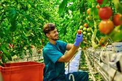 Agricoltore amichevole sul lavoro in serra Immagine Stock Libera da Diritti