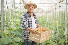 Agricoltore anziano che tiene una cassa di legno vuota in una serra Fotografie Stock