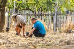 Agricoltore anziano e le sue prugne di raccolto del nipote Fotografia Stock Libera da Diritti