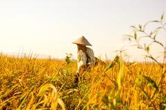 Agricoltore anziano indonesiano alle risaie Immagini Stock