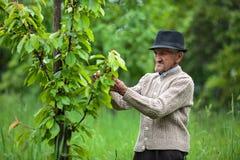 Agricoltore anziano nel suo frutteto Fotografia Stock Libera da Diritti
