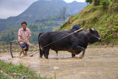 Agricoltore in Asia rurale, arante suolo per coltivazione del riso Fotografia Stock