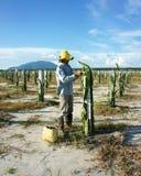 Agricoltore asiatico, azienda agricola di agricoltura, frutta del drago Fotografie Stock Libere da Diritti