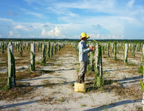 Agricoltore asiatico, azienda agricola di agricoltura, frutta del drago Immagine Stock Libera da Diritti