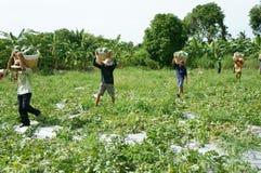 Agricoltore asiatico, campo di agricoltura, vietnamita, anguria Immagini Stock Libere da Diritti