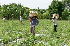 Agricoltore asiatico, campo di agricoltura, vietnamita, anguria Fotografie Stock Libere da Diritti