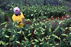 Agricoltore asiatico che lavora al giardino del giglio Fotografia Stock