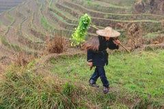 Agricoltore asiatico in cinese il cappello del cinese tradizionale, fra i terrazzi del riso Immagine Stock
