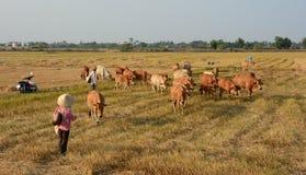 Agricoltore asiatico con le sue mucche sulla piantagione del riso Fotografia Stock