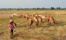 Agricoltore asiatico con le sue mucche sulla piantagione del riso Fotografie Stock Libere da Diritti
