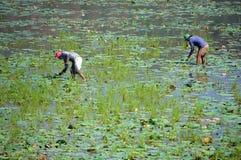 Agricoltore asiatico, delta dello stagno di loto, il Mekong Immagine Stock