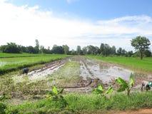 Agricoltore asiatico nel giacimento del riso Immagine Stock