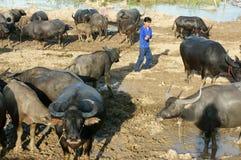 Agricoltore asiatico, pascente, bufalo Fotografia Stock
