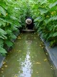 Agricoltore asiatico sull'azienda agricola del cetriolo Fotografia Stock