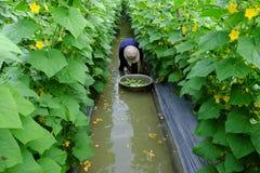 Agricoltore asiatico sull'azienda agricola del cetriolo Immagini Stock Libere da Diritti