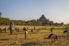 Agricoltore in Bagan Burma fotografie stock