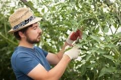 Agricoltore bello che lavora alla serra con le piante di pomodori Fotografia Stock