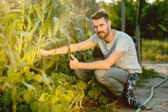 Agricoltore bello nei suoi anni trenta che selezionano cereale su un campo Immagini Stock