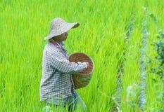 Agricoltore birmano ad un giacimento del riso Fotografie Stock