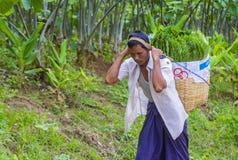 Agricoltore birmano ad un giacimento del riso Immagine Stock Libera da Diritti