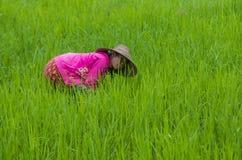 Agricoltore birmano ad un giacimento del riso Fotografia Stock