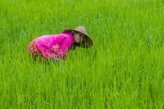 Agricoltore birmano ad un giacimento del riso Immagini Stock