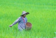 Agricoltore birmano ad un giacimento del riso Fotografia Stock Libera da Diritti