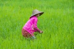 Agricoltore birmano ad un giacimento del riso Fotografie Stock Libere da Diritti