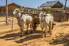 Agricoltore birmano anziano che guida un carretto del bue in Bagan Fotografie Stock