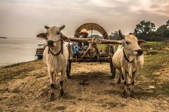 Agricoltore birmano che guida un carretto del bue Fotografia Stock Libera da Diritti