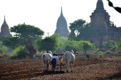 Agricoltore birmano con la mucca per l'aratura del rimorchio sulla risaia Immagine Stock
