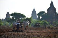 Agricoltore birmano con la mucca per l'aratura del rimorchio sulla risaia Fotografie Stock Libere da Diritti