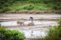 Agricoltore cambogiano in un giacimento del riso Fotografia Stock