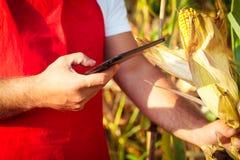 Agricoltore in campo di mais facendo uso della compressa elettronica Fotografia Stock Libera da Diritti