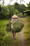 Agricoltore Carries Grass Cuttings di balinese per gli animali da allevamento Fotografia Stock