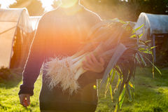 Agricoltore Carrying Bundle dei porri con il chiarore pulito della lente delle radici Immagini Stock