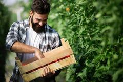 Agricoltore caucasico che seleziona i pomodori freschi dalla sua serra Immagini Stock