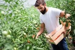 Agricoltore caucasico che seleziona i pomodori freschi dalla sua serra Fotografia Stock