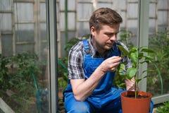Agricoltore caucasico Checking Pepper Plants in serra Fotografie Stock Libere da Diritti