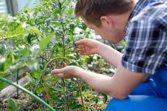 Agricoltore caucasico Checking Tomato Plants in serra fotografie stock