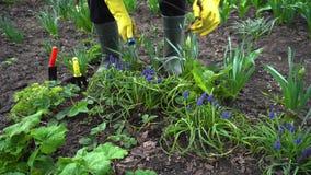 Agricoltore che allenta suolo con la forcella della mano fra i fiori della molla in giardino archivi video