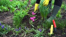 Agricoltore che allenta suolo con la forcella della mano fra i fiori della molla in giardino stock footage