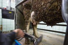Agricoltore che applica mungitrice ad una mucca Immagine Stock Libera da Diritti