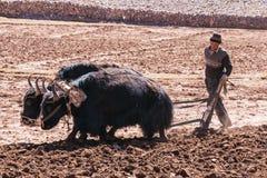 Agricoltore che ara i terreni agricoli con i yak - Tibet fotografia stock