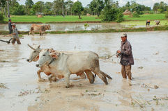 Agricoltore che ara il suo campo con le mucche in Siem Reap Immagini Stock Libere da Diritti