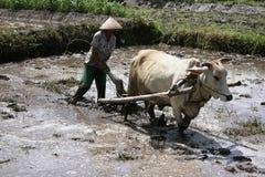 Agricoltore che ara il suo giacimento del riso con le mucche Fotografie Stock Libere da Diritti