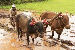 Agricoltore che ara la risaia con i suoi tori prima della piantatura del riso, Pune Fotografia Stock Libera da Diritti