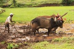 Agricoltore che ara la risaia con i suoi tori prima della piantatura del riso, Pune Fotografia Stock