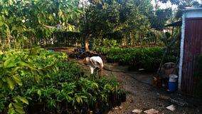 Agricoltore che ara la terra in un frutteto Fotografia Stock
