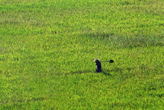 Agricoltore che cammina attraverso un giacimento di grano Fotografia Stock Libera da Diritti